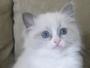 Pet Ragdoll Kitten Breeder