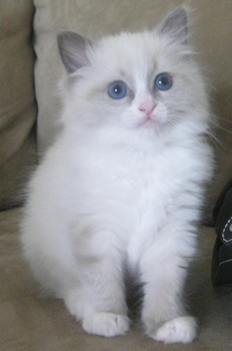 Pet Ragdoll Kitten Breeder Glenbrook New South Wales 005999244169