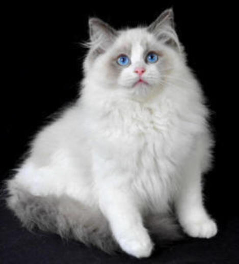 Ragdoll Kittens For Sale • Sydney • New South Wales