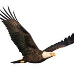 eaglesurveys